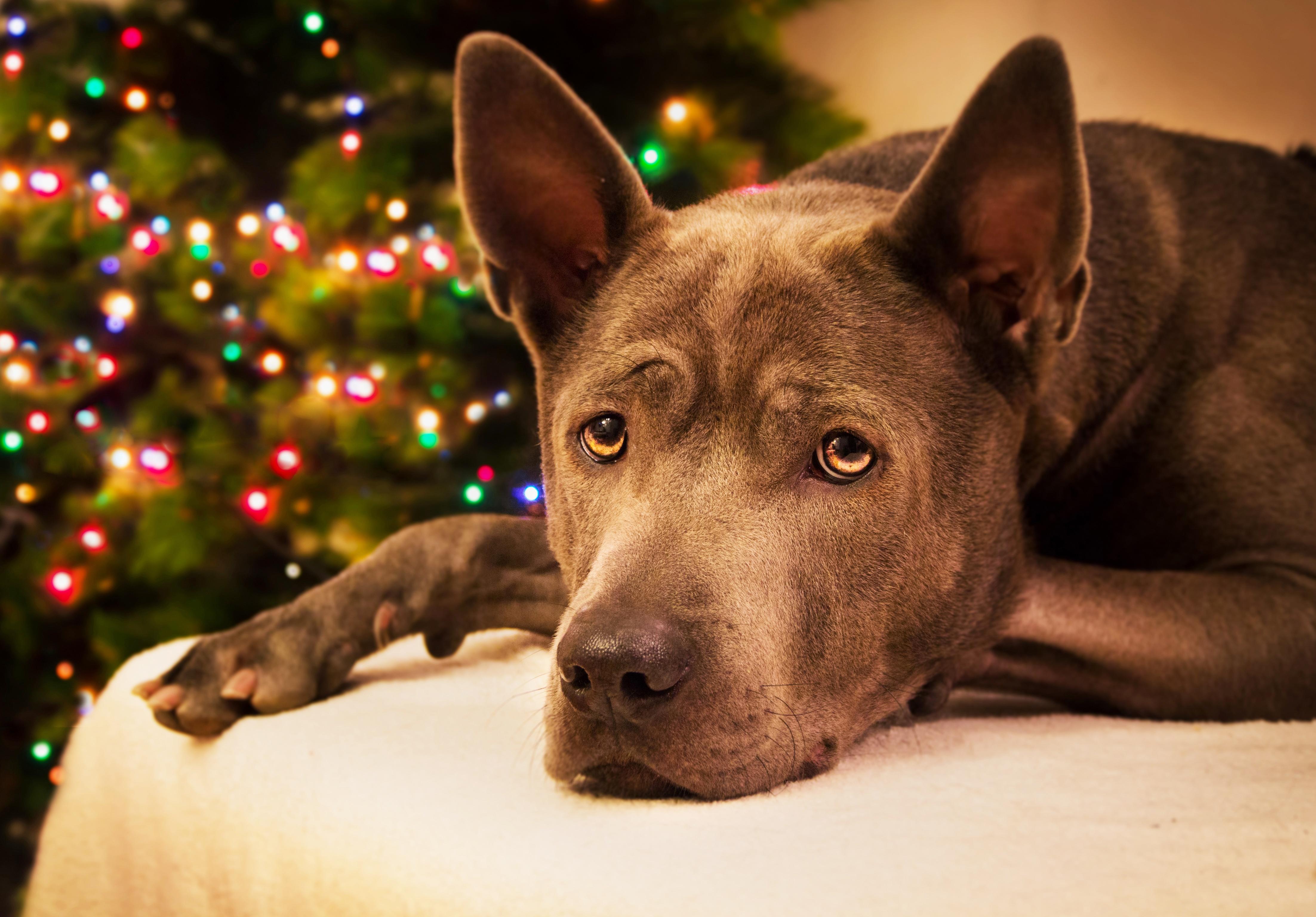 Christmas - Dog