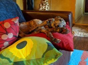 janus the greyhound